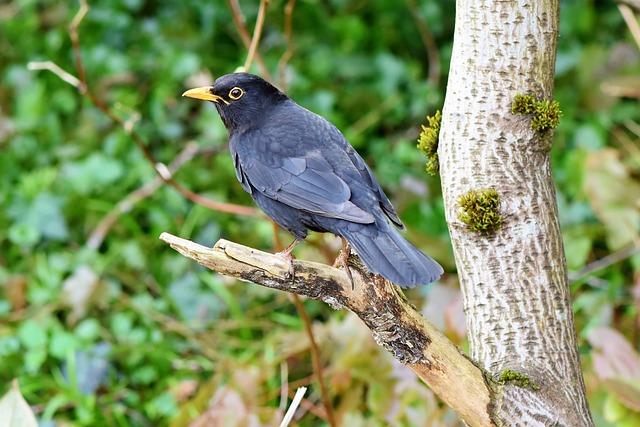 Blackbird, Bird, Songbird, Black, Bill, Feather