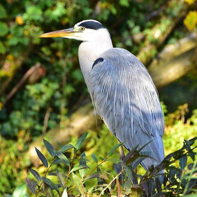 Blue Heron, Bird, Nature