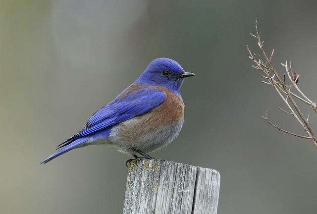 Western Bluebird, Bird, Wood, Perched, Bluebird, Animal