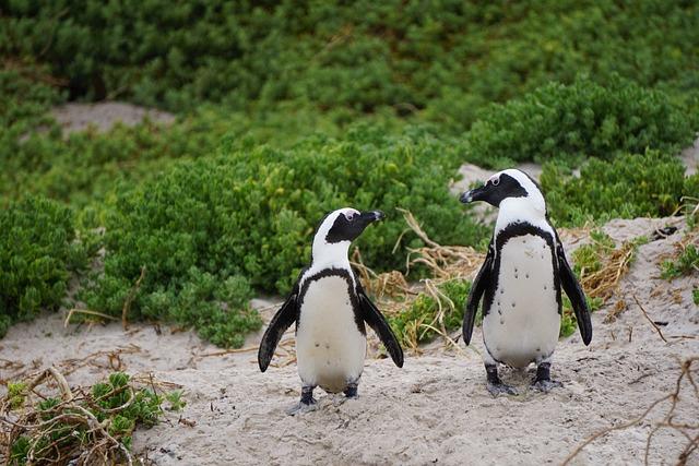 Penguins, Bird, Boulders Beach, South Africa
