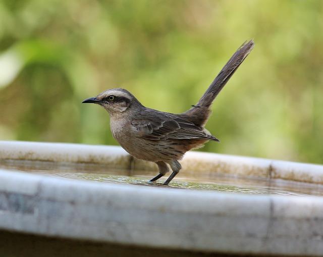 I Knew The Field, Bird, Water Cooler, Brasileira