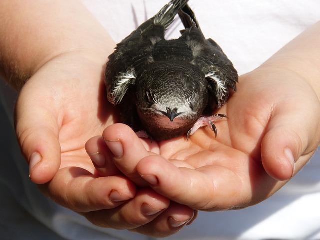Bird, Breeding, Chicken, Common Swift, Apus Apus, Hands