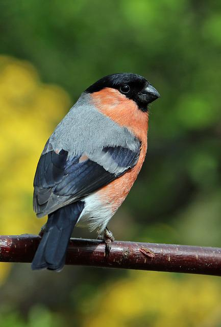 Bullfinch, Bull Finch, Bird, Colourful, Garden Bird
