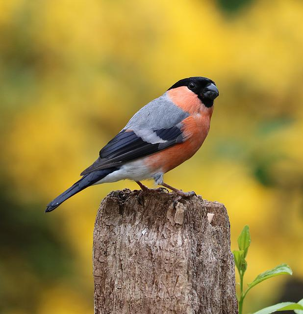 Bullfinch, Song Bird, Bird, Garden Bird, Male, Red