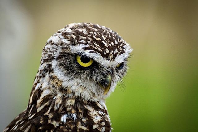 Owl, Burrowing Owl, Bird, Animal, Wildlife, Avian
