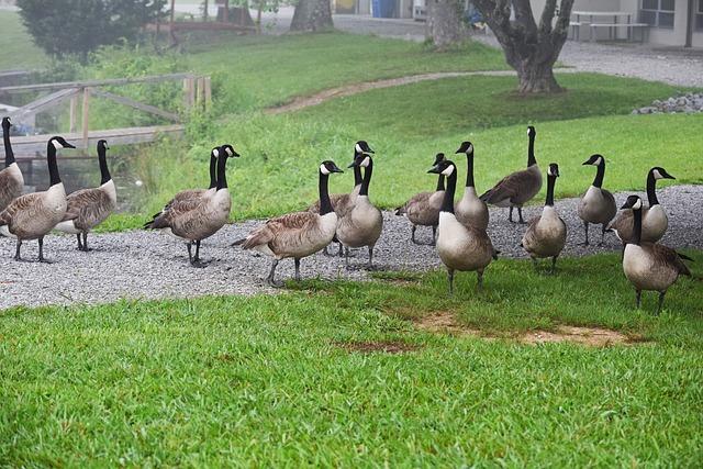 Gaggle Of Geese, Canada Goose, Waterfowl, Bird, Animal