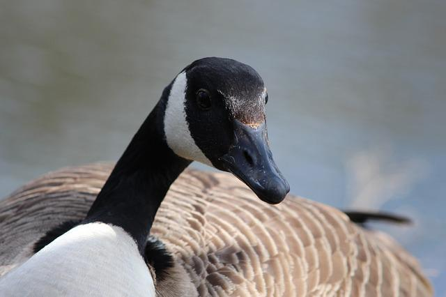 Canada Goose, Bird, Canada, Nature, Animal, Canadian