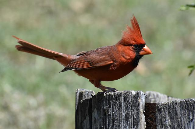 Wildlife, Bird, Nature, Outdoors, Animal, Cardinal