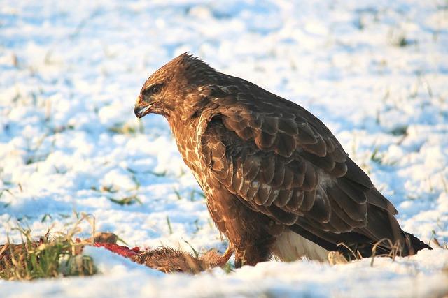 Buzzard, Bird Of Prey, Raptor, Carnivores, Bird, Eat
