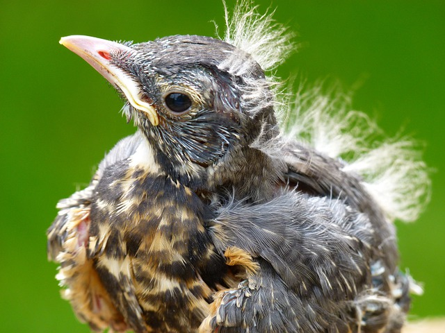 Red Robin, Bird, Chick, Nature, Animal, Young, Macro