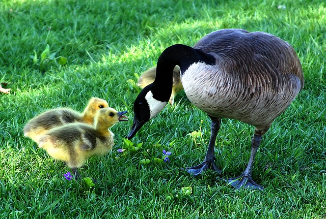 Canada Goose, Mother's Day, Fluffy, Babys, Chicks, Bird