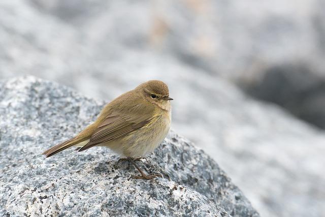 Chiffchaff, Bird, Willow Warbler