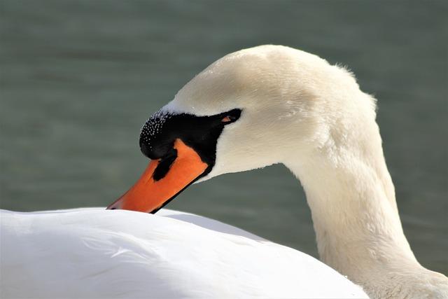 White Swan, Bird, Cleaning Plumage, Elegant, Head, Eye