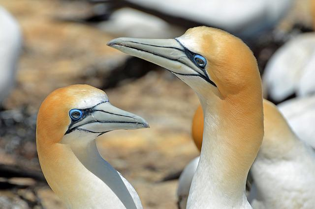 Northern Gannet, Bird, Animals, Nature, Close, Birds