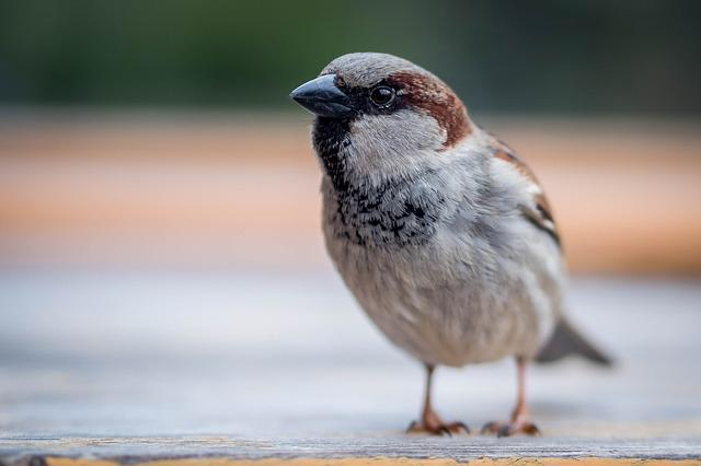 Sparrow, Bird, Close