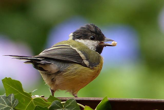 Animal, Bird, Tit, Young, Parus Major, Foraging, Close
