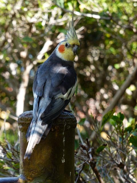 Cockatiel, Parakeet, Bird, Males, Bird Figure