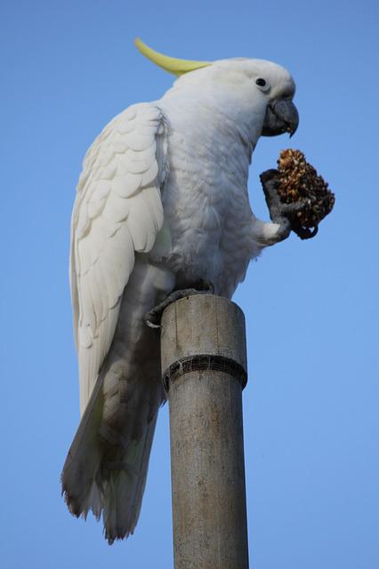 Cockatoo, Bird, Nature