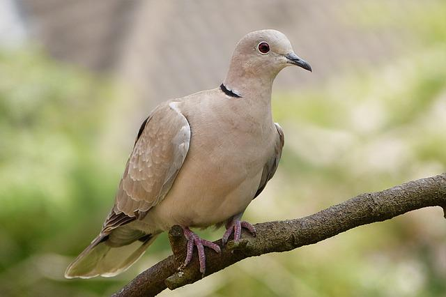 Animal, Bird, Dove, Collared, Streptopelia Decaocto