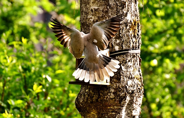 Dove, Approach, Bird, Garden, Collared, Plumage, Fly