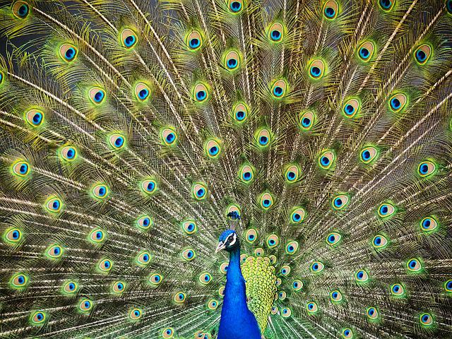 Peacock, Turkey, Royal, Feathers, Color, Ave, Bird