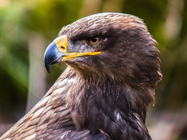 Common Buzzard, Buzzard, Raptor, Bird, Nature, Animal