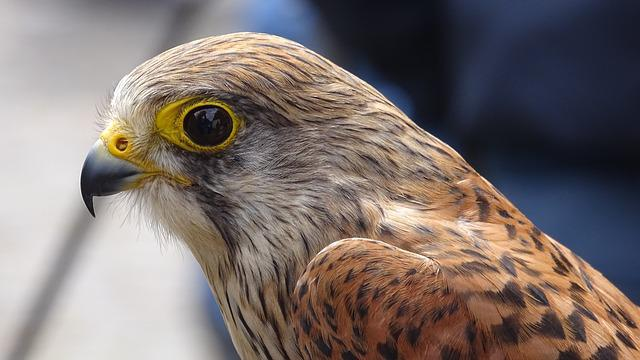Bird Of Prey, Bird, Common Buzzard, Valk, Sparrowhawk