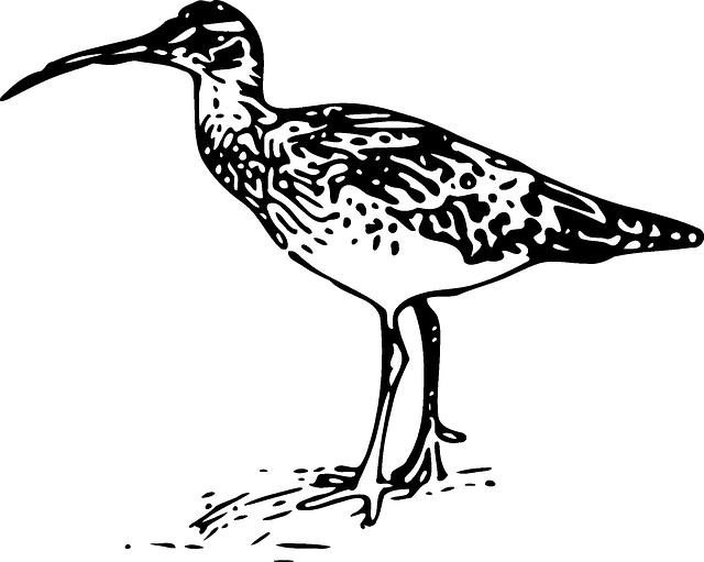 Curlew, Bird, Fauna, Birdlife, Wader