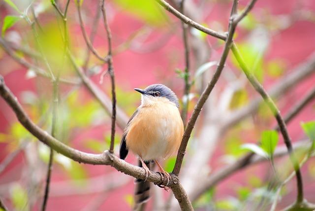 Bird, Nature, Wildlife, Animals, Cute, Prinia