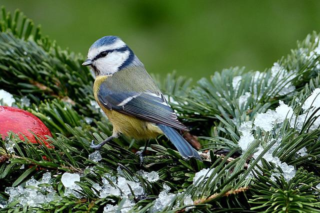 Tit, Blue Tit, Cyanistes Caeruleus, Bird, Winter