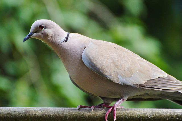 Dove, Collared, Bird, City Pigeon, Foraging, Poultry
