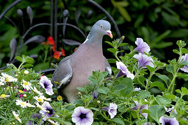 Bird, Dove, Ringdove, Columba Palumbus, Foraging