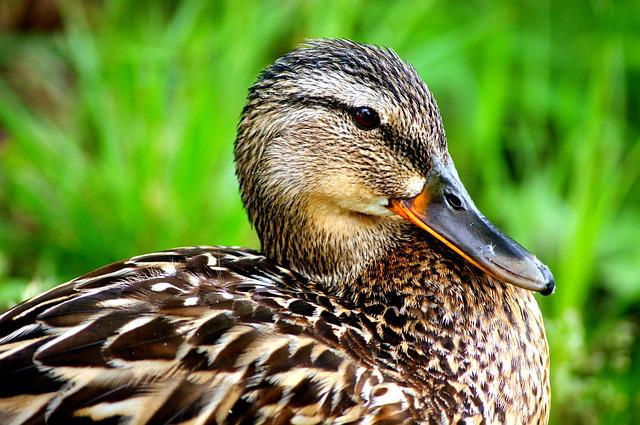 Duck, Nature, Ducks, Bird, Water, Wild Birds