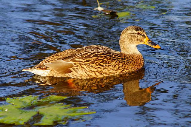 Duck, Female, Bird, Animal, Plumage, Elegant, Nature