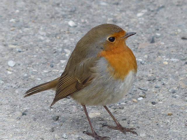 Bird, Robin, Animal, Erithacus Rubecula, Species