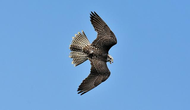 Falcon, Bird Of Prey, Wildlife Photography, Bird