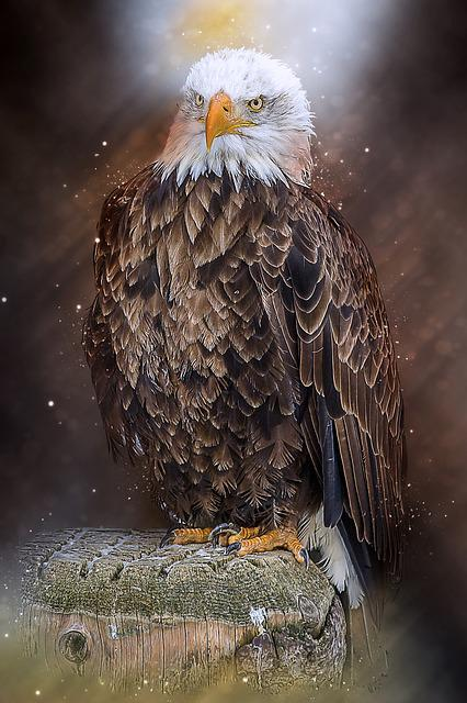 Bald Eagle, Bird Of Prey, Raptor, Falconry, Bird