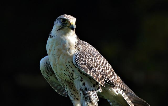 Bird, Tierwfalke, Raptor, Bird Of Prey, Falkner