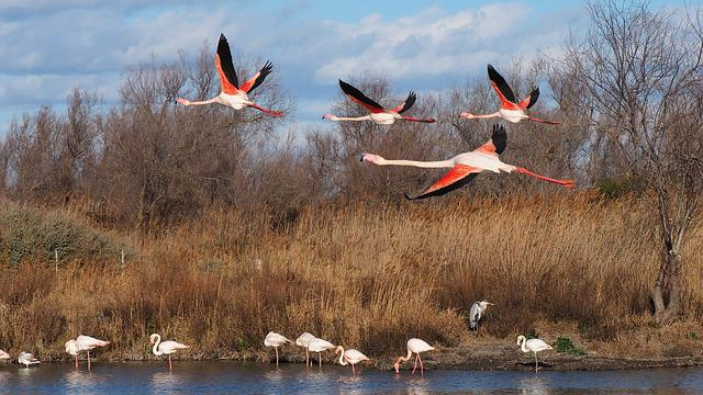 Bird, Nature, Pink Flamingo, Fauna, Flight, Camargue