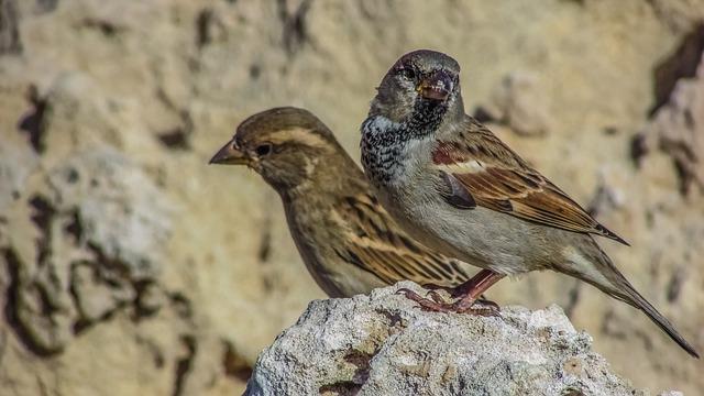 Sparrow, Nature, Bird, Wildlife, Animal, Feather, Fauna