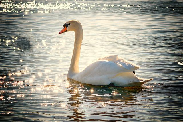 Swan, Water, Bird, Lake, White, Feather, Nature