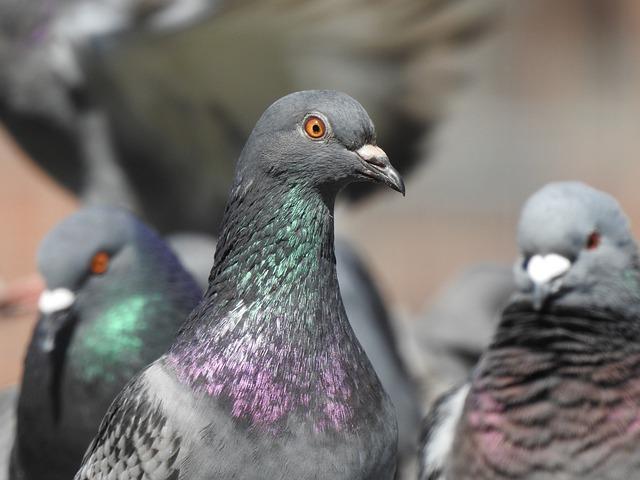 Dove, Bird, Feather, Plumage, Animal, Nature