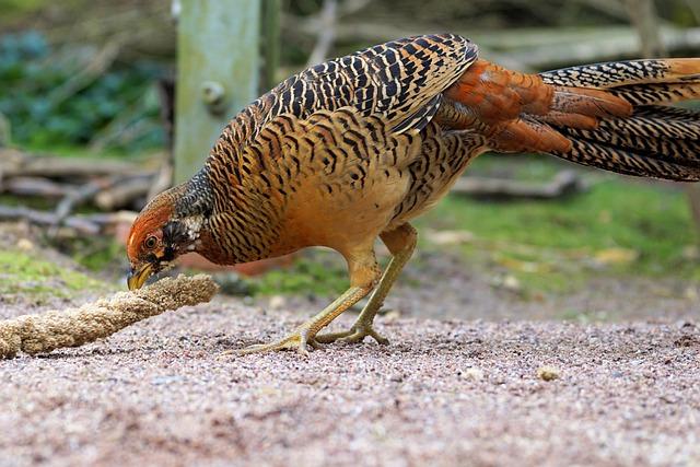Goldfasan, Pheasant, Bird, Feather, Plumage, Animal