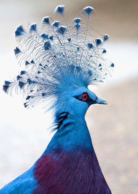 Victoria Crowned Pigeon, Bird, Animal, Plumage, Feather