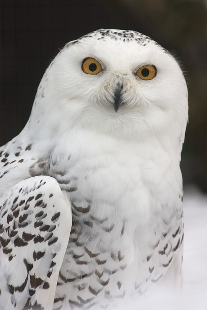 Snowy Owl, Owl, Zoo, Feather, Bird, Yellow Eyes