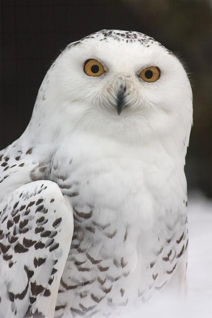 Snowy Owl, Owl, Zoo, Feather, Bird, Yellow Eyes