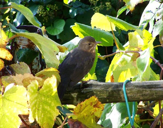 Blackbird, Female, Bird