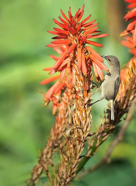 Southern Double-collared Sunbird, Female, Feeding, Bird