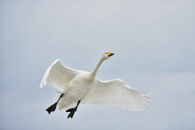Animal, Sky, Bird, Wild Birds, Fields, Waterfowl, Swan