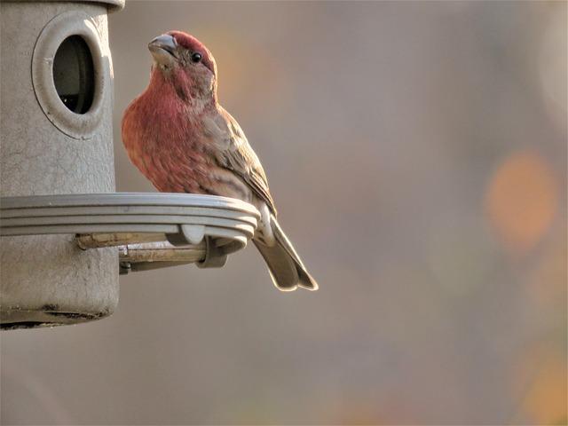 Bird, Nature, Wildlife, Finch, Scarlet